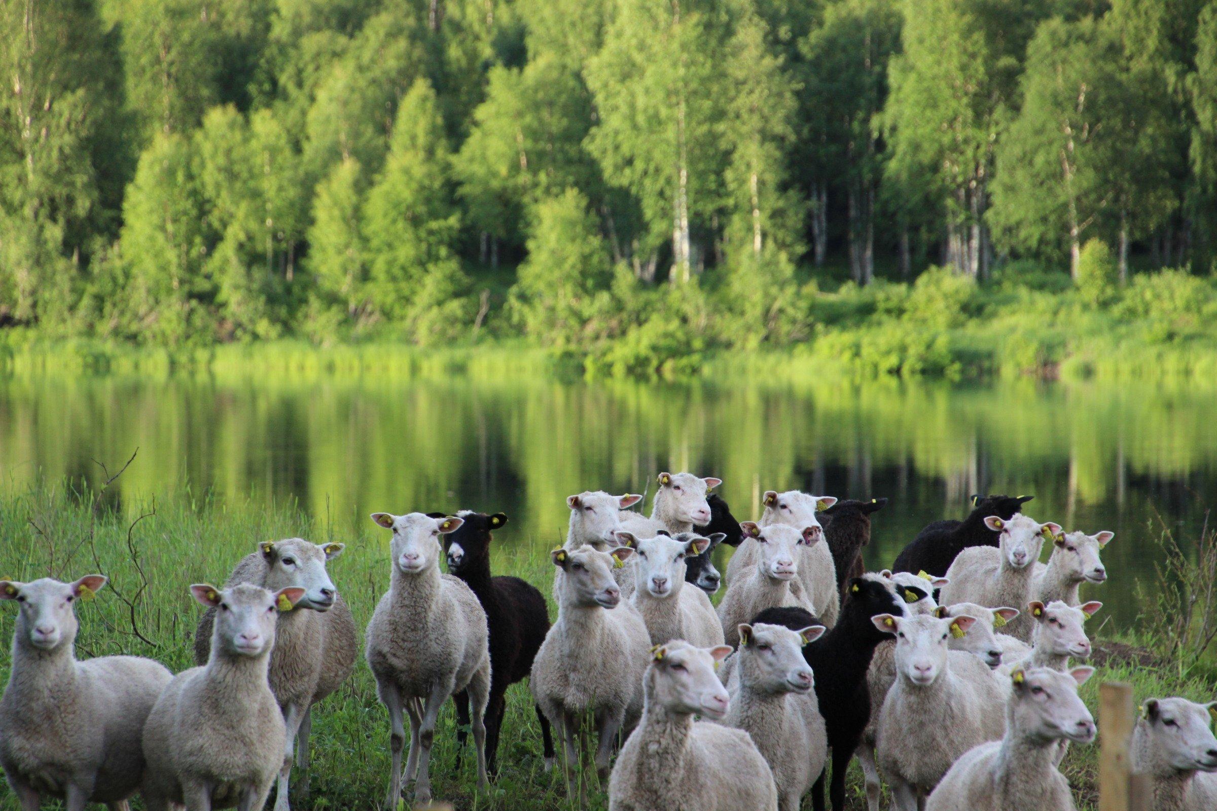 Lampaita Nivankylän Lietesaaressa 2020 (c) Piia Juntunen-Laakso